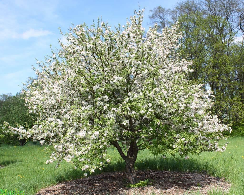 Яблоки голден делишес: описание сорта и фото