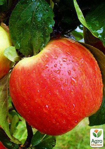 Сорт яблони народное