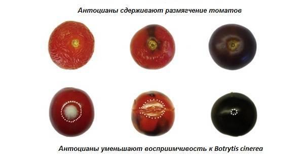 Гибрид томатов «лазурный гигант f1»: отзывы, описание, характеристика, урожайность, фото и видео