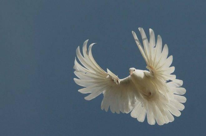 Серпастые голуби