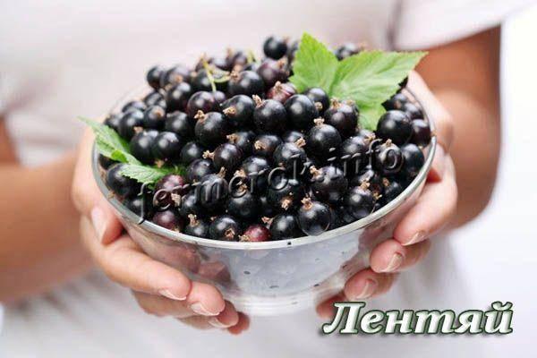 Среднепоздний сорт чёрной смородины лентяй – вкусные ягоды в августе