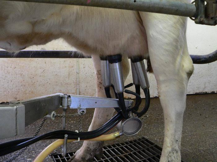 Как сделать доильный аппарат для коров в домашних условиях?