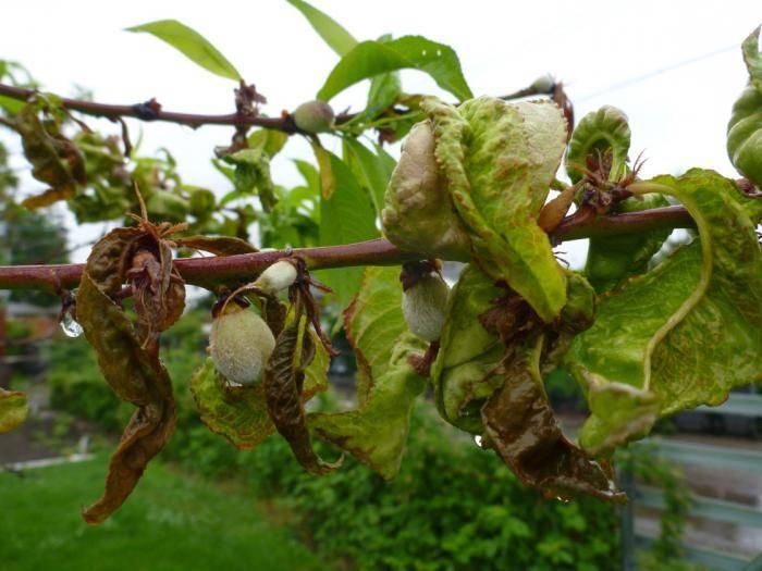 Болезни, вредители персиковых деревьев и их лечение