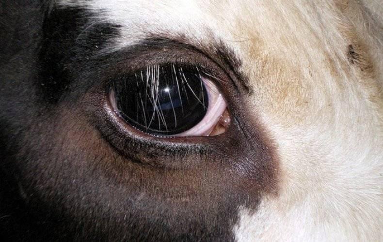 Телязиоз — причина слезотечения у коров