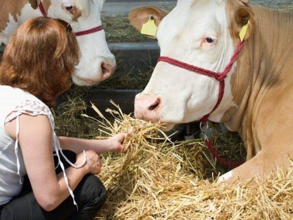 Преимущества и характерные особенности швицкой породы коров