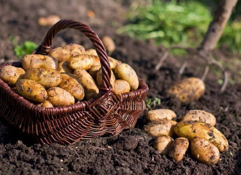 Картофель сорта лапоть: когда название соответствует описанию