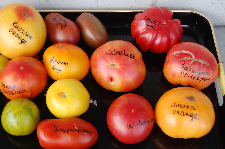 Сорт томата «загадка природы» для зон с рискованным земледелием: описание, характеристика, посев на рассаду, подкормка, урожайность, фото, видео и самые распространенные болезни томатов