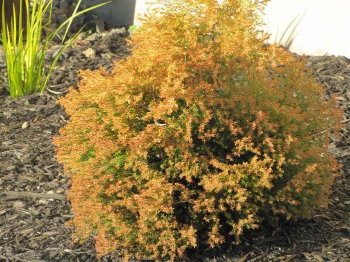 Виды и сорта туи, выращиваемой на дачных участках