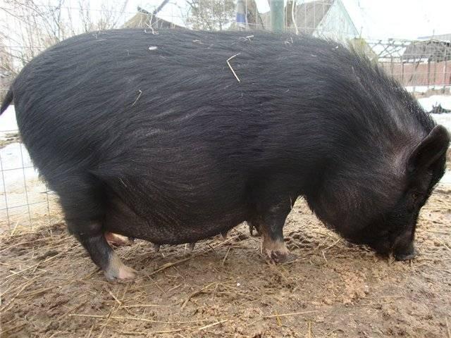 Как определить беременность у свиней