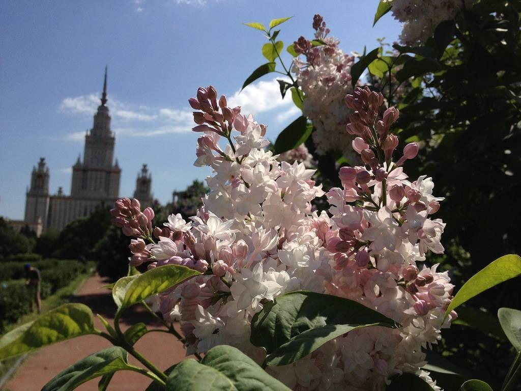 Сирень Московская красавица (Красавица Москвы): посадка и уход