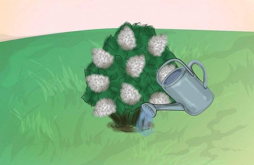 Гортензия «даймонд руж» (41 фото): описание сорта гортензии метельчатой diamant rouge, преимущества и недостатки, посадка и уход