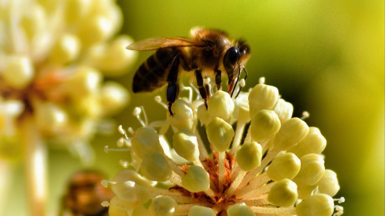 Особенности сбора пыльцы на пасеке