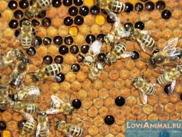 Акарапидоз у пчел