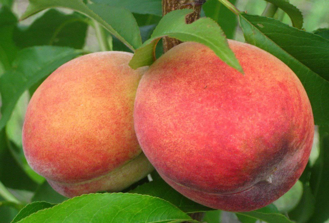 Особенности плодоношения высокоурожайного киевского раннего персика