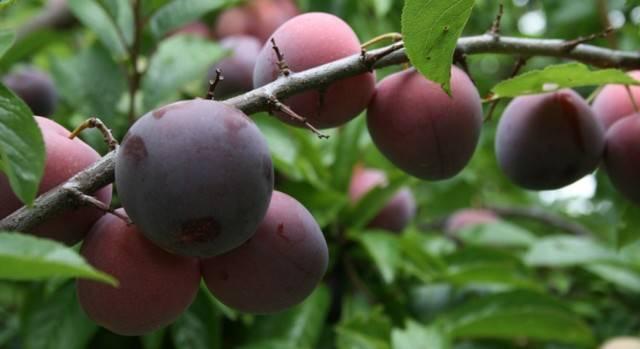 Плюсы и минусы выращивания сливы заречная ранняя