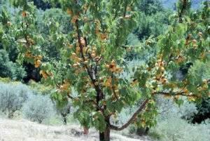 Весенняя подкормка абрикоса — залог больших урожаев!