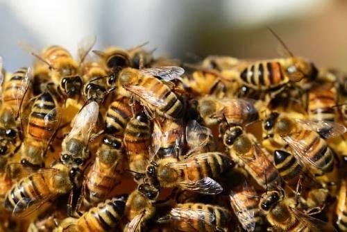 Роение пчел: почему оно происходит и что следует предпринять пчеловоду