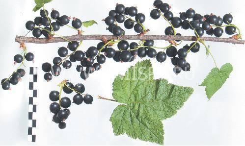 Смородина чёрная лючия: основные характеристики сорта