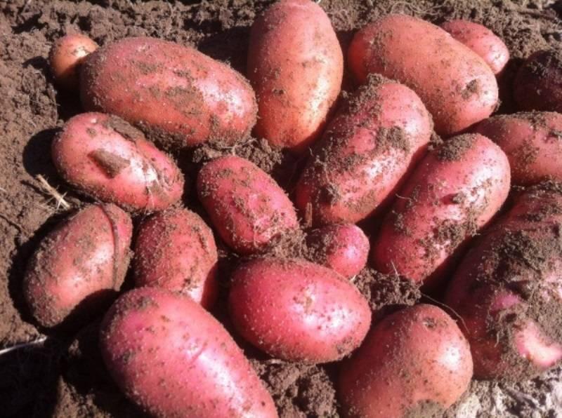 """Картофель """"рябинушка"""": описание  сорта, фото, характеристики и достоинства"""