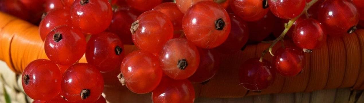Смородина красная «сахарная» — описание сорта, фото, посадка и уход