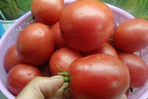 Обзор томатов настенька: характеристика и правила выращивания