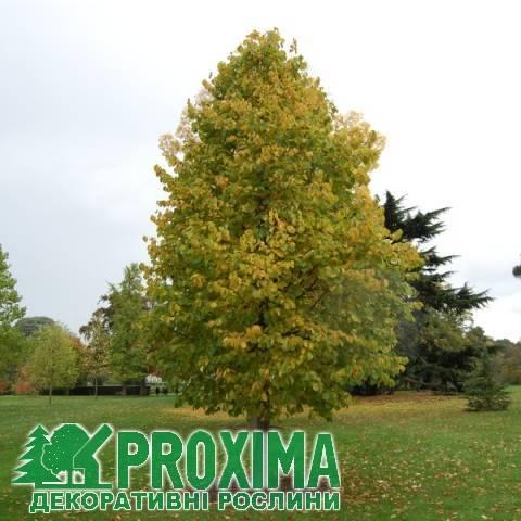 Виды кустарников (деревьев) орешника: лещина или лесной орех, фундук