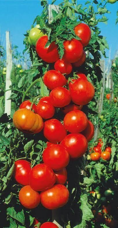 Гибрид томата спасская башня f1 – лучшая новинка последних лет