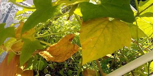 От чего желтеют листья тыквы и как бороться?