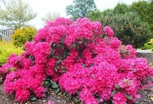 Рододендрон розовый гибридный