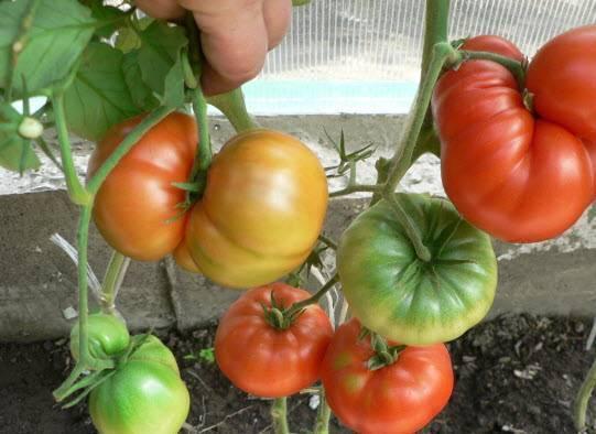 Томат гордость сибири: отзывы, фото, характеристика и описание, урожайность сорта