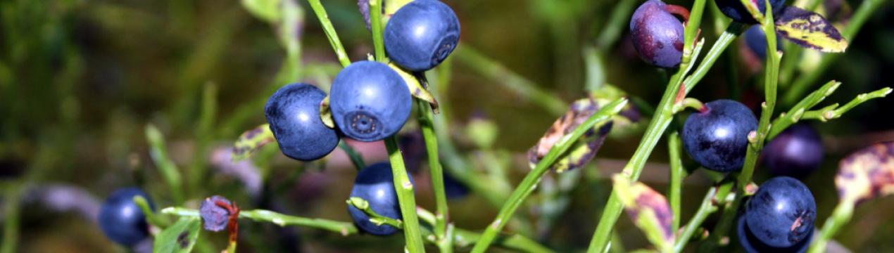 Как и где растет черника, о пользе, сборе и обработке ягод