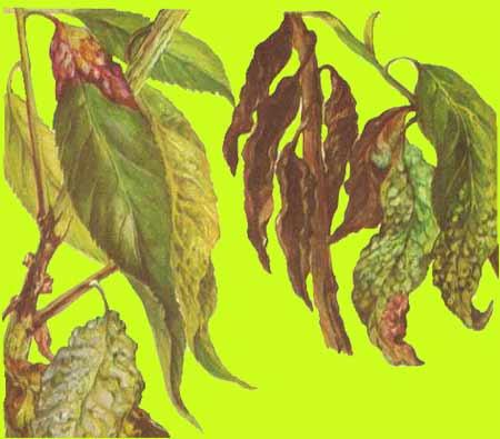 Методы борьбы с курчавостью листьев персика