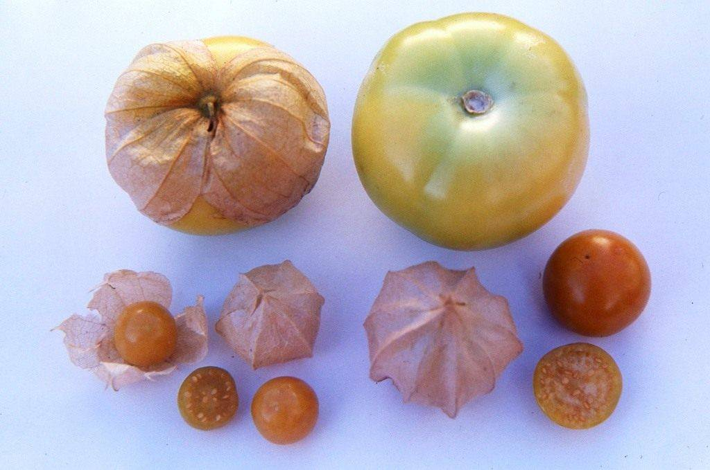 Физалис: фрукт или овощ, как выращивать