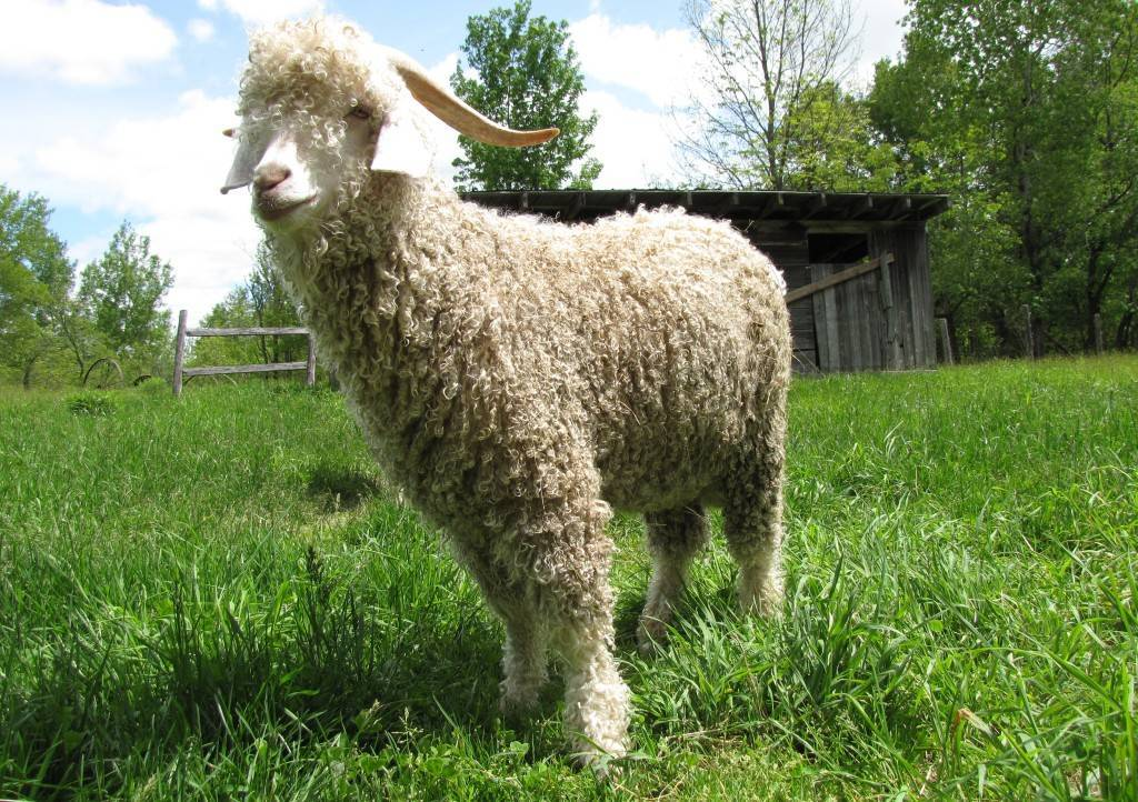 Пуховые козы: характеристики и содержание лучших пород с фото