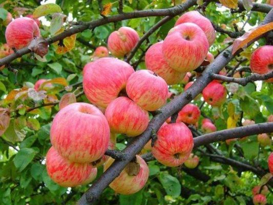 Описание и тонкости выращивания яблони антоновка