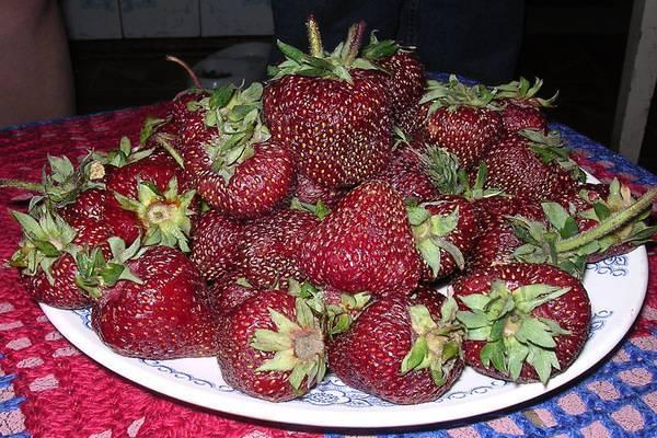 Клубника «черный принц» — темно-красная ягода из италии