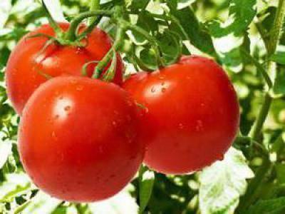 Полезный и вкусный помидор «дар заволжья розовый» на отечественных грядках