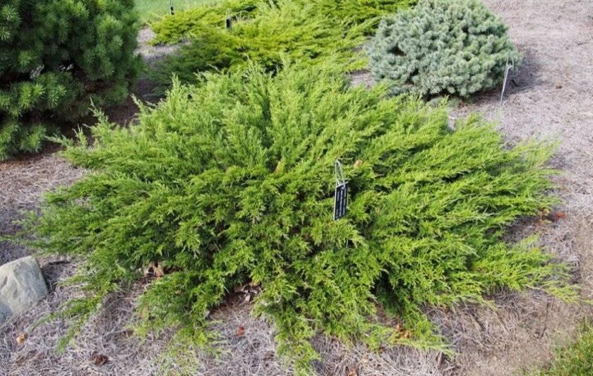 Можжевельник в сибири (30 фото): описание сибирских видов и сортов можжевельника. посадка и уход. растет ли он в западной сибири?