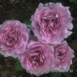 Характеристики и описание розы сорта абрахам дерби, выращивание и уход