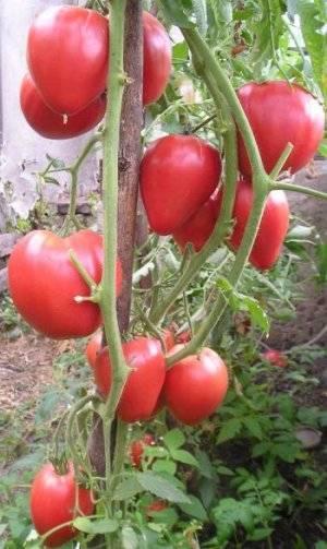 Сорт «чудо света» — чудесный жёлтый томат