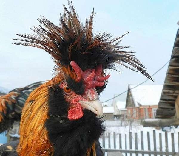 Порода кур павловская