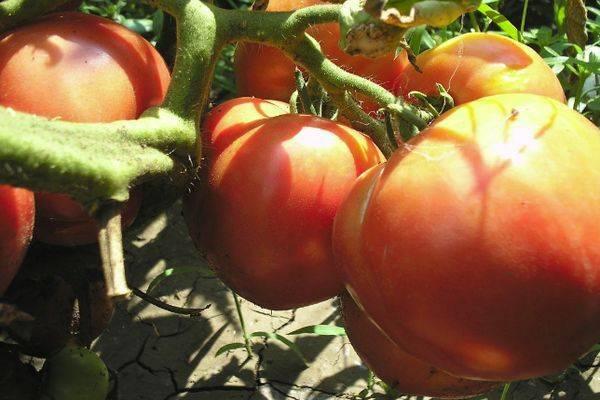 Томат титан: описание и урожайность сорта, особенности выращивания и ухода