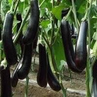 Баклажан черный принц — описание, фото, характеристика, урожайность, выращивание