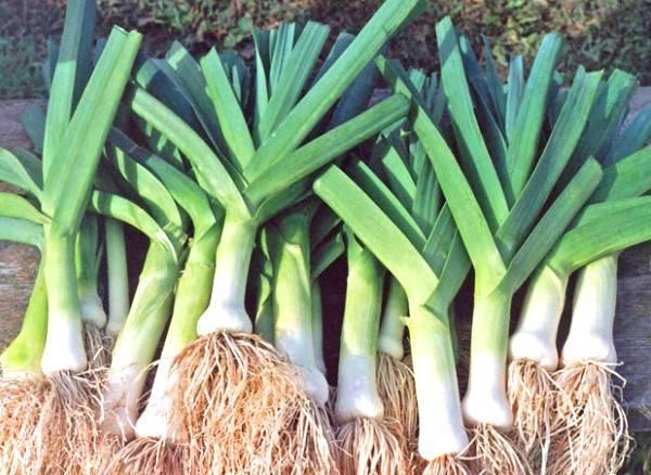 Лук порей карантанский выращивание из семян своими руками - подробное руководство!