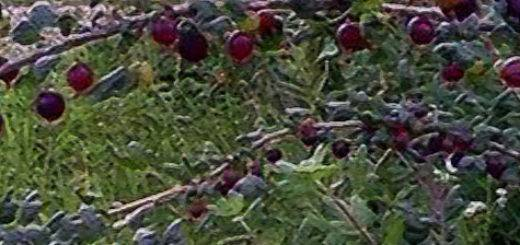 Крыжовник орлёнок: характеристика, особенности выращивания и размножения