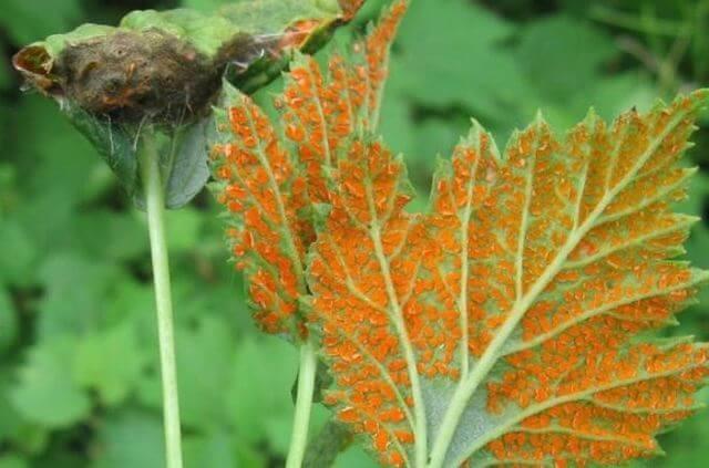 Советы, что делать, если на смородине красные выпуклые пятна на листьях
