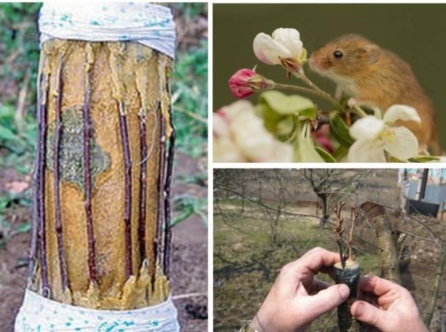 Мыши погрызли яблоню – как помочь дереву