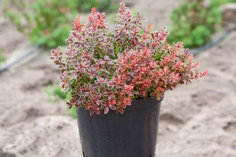 Барбарис адмирейшн – карлик с красными листьями