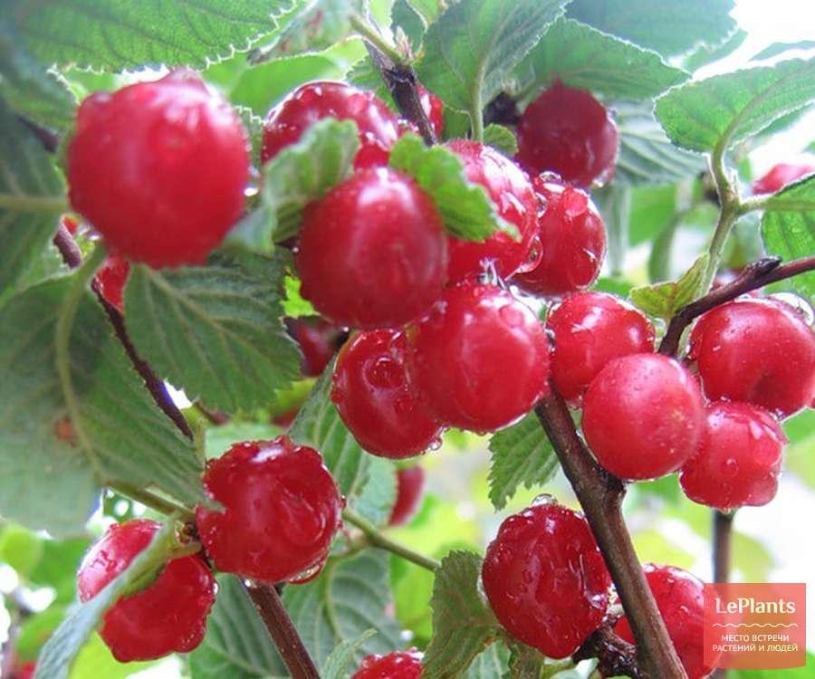 Войлочная вишня — выращивание и уход