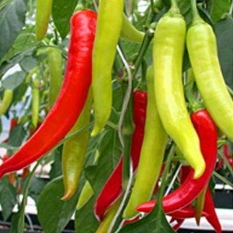 Горький перец: лучшие сорта для выращивания в комнатных условиях